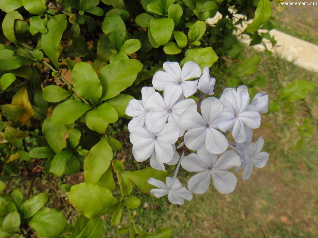 Цветы на Гавайях