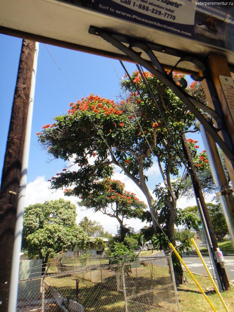 Тюльпановое дерево, Гавайи