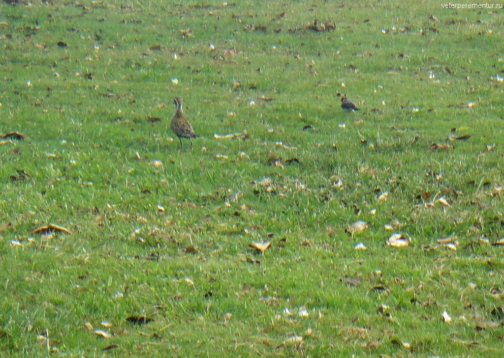 птицы в Гонолулу