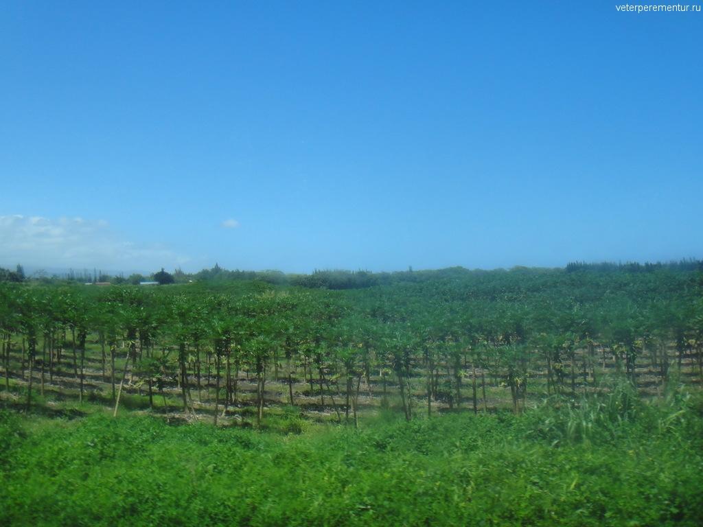 плантации папайи на Гавайях