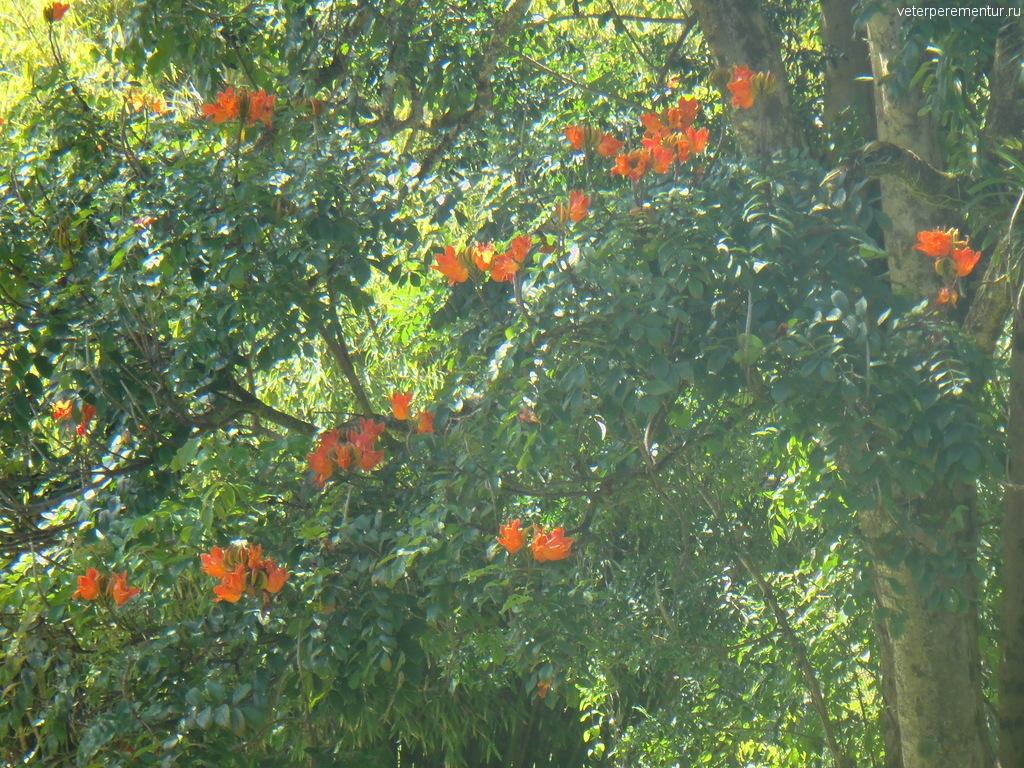 Зоопарк, Биг Айленд, Гавайи, тюльпановое дерево