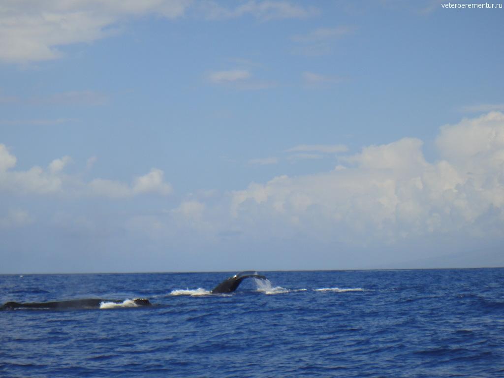 Киты у берегов Мауи, Гавайи