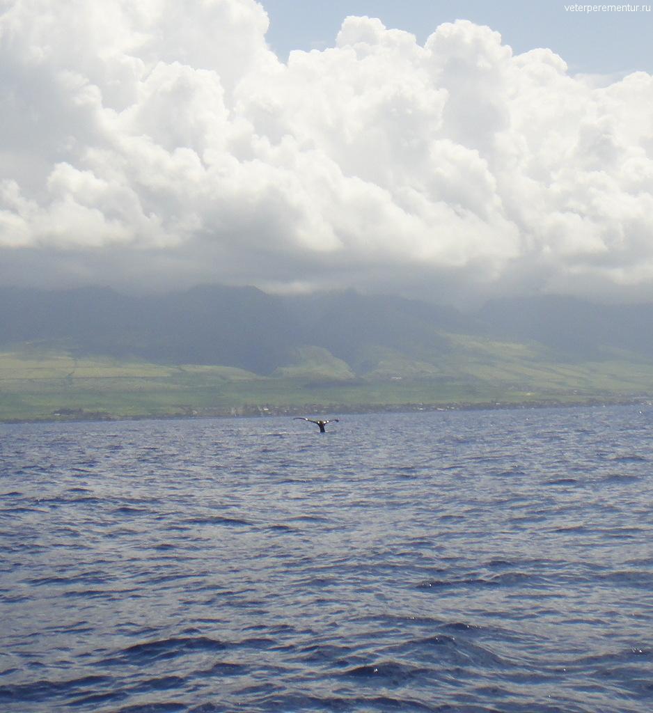 Киты у побережья Мауи