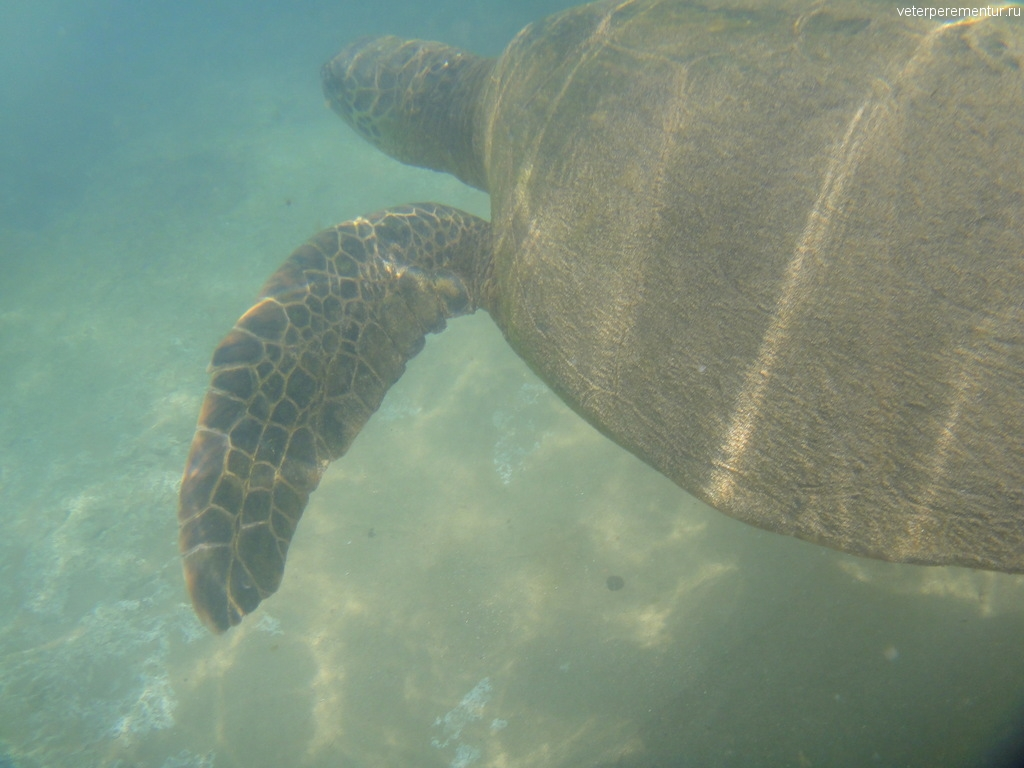 Черепаха рядом с пляжем, Мауи