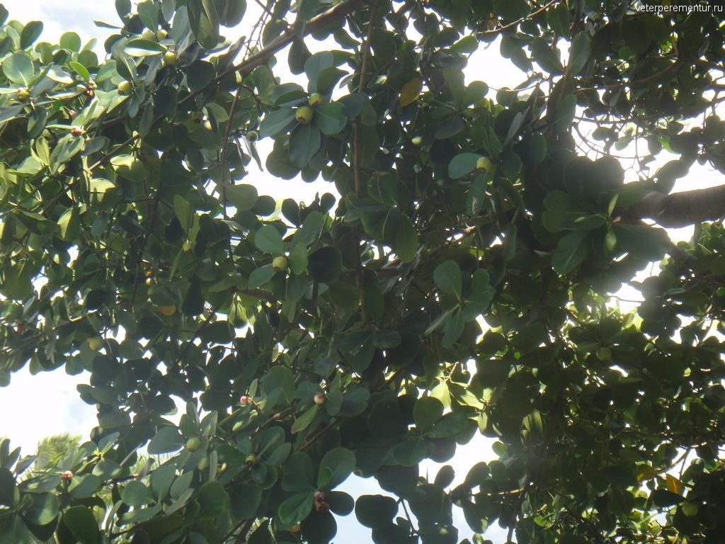 Гавайские деревья