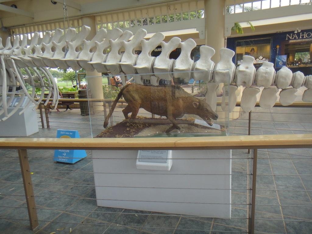 Кашалот в музее на Мауи