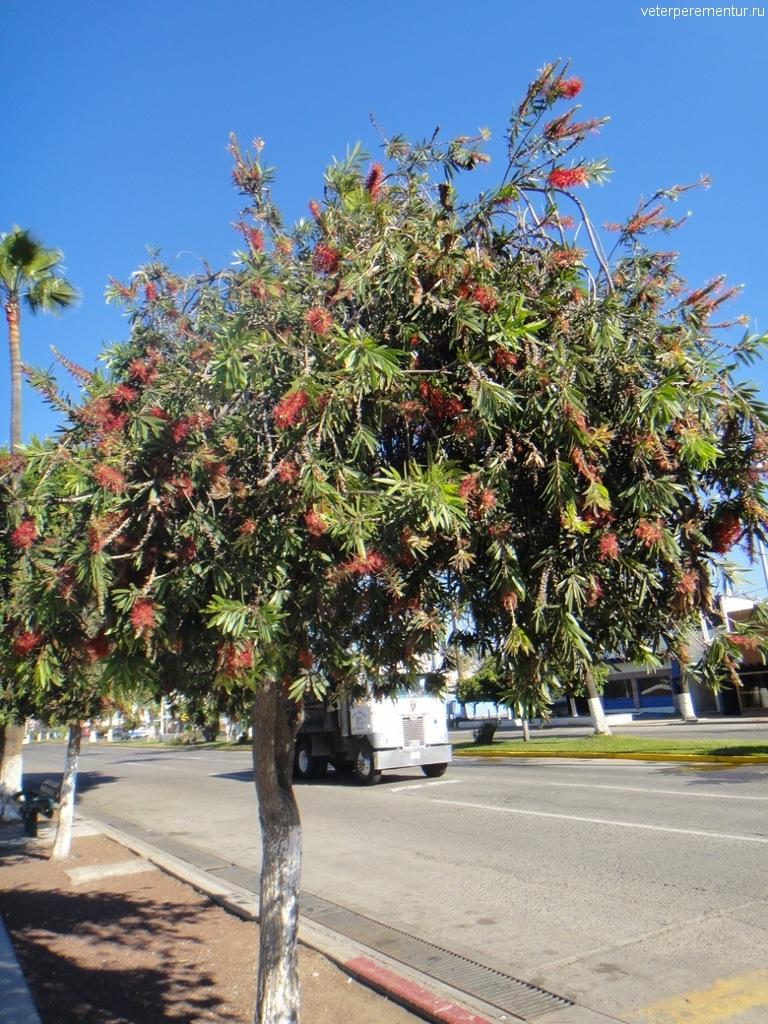 Цветущие деревья, МЕКСИКА, ЭНСЕНАДА