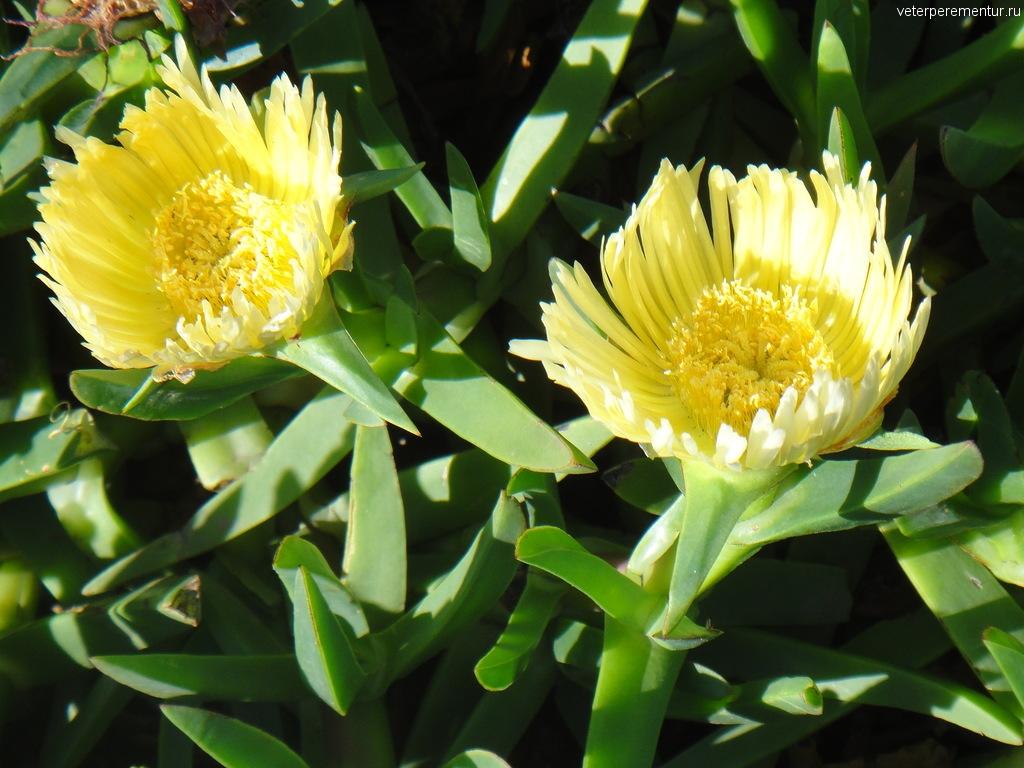 цветы, МЕКСИКА, ЭНСЕНАДА