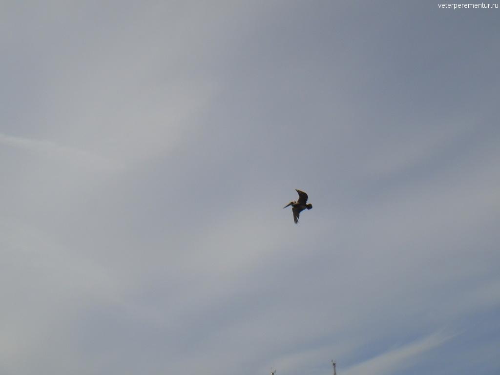 Пеликаны на Лонг Бич, Лос Анджелес