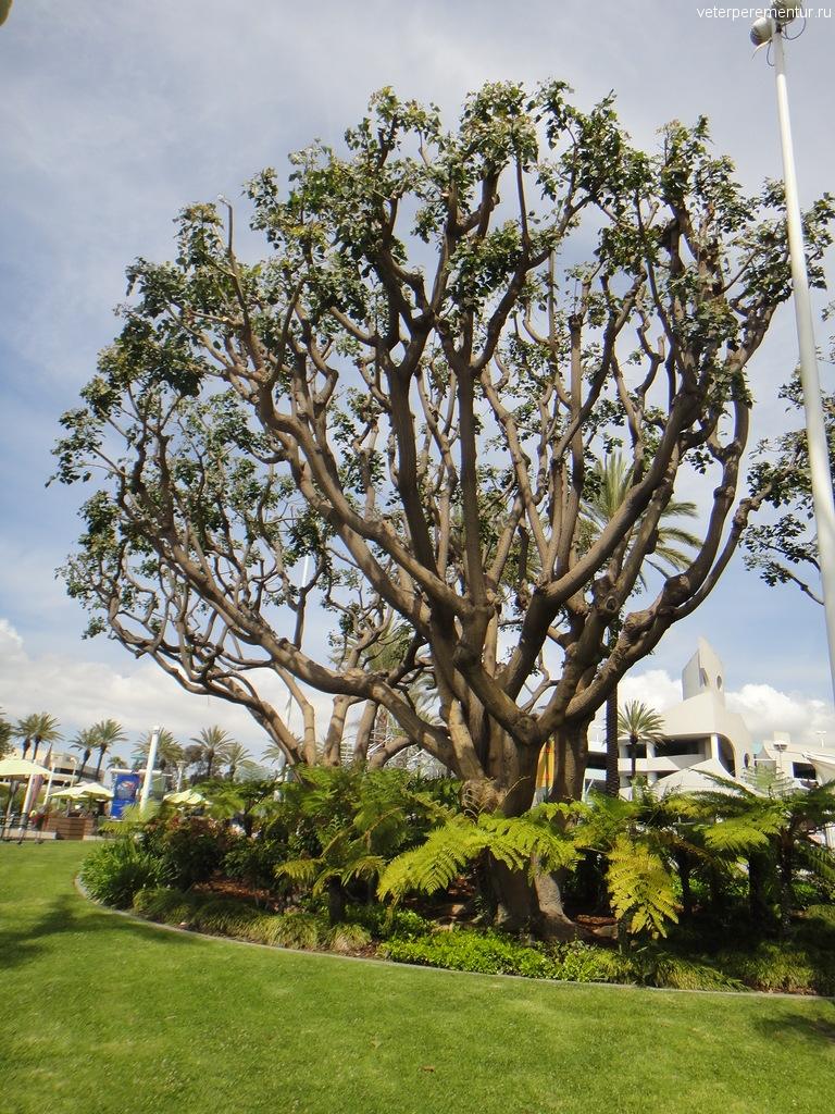 дерево, Лонг Бич, Лос Анджелес