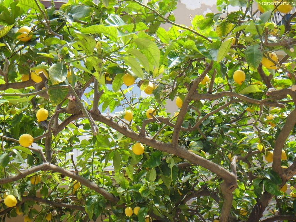 Лимонные деревья, Сиракузы, Сицилия