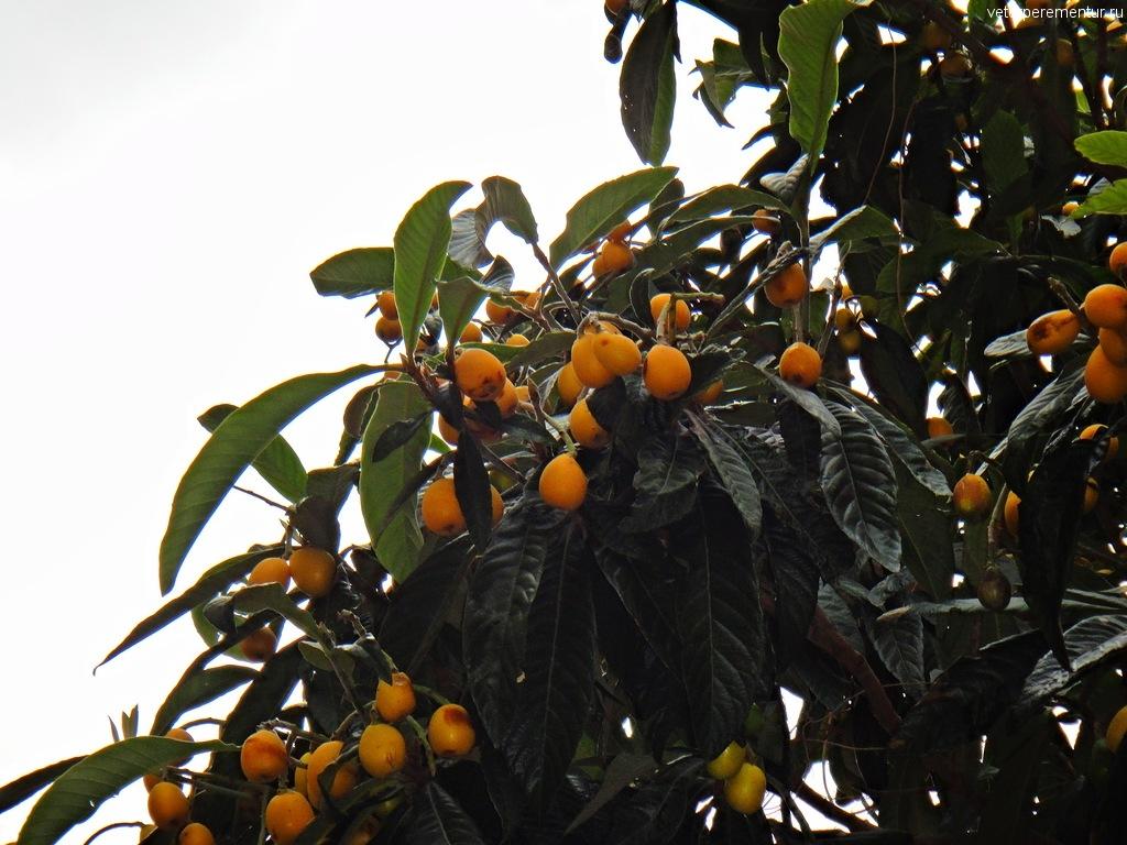 фруктовые деревья в Таормине, Сицилия