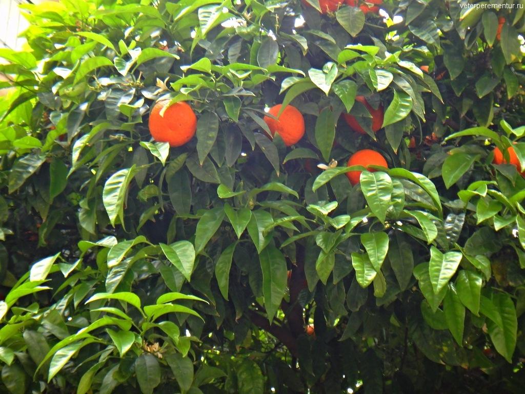 апельсины на дереве, Таормина, Сицилия
