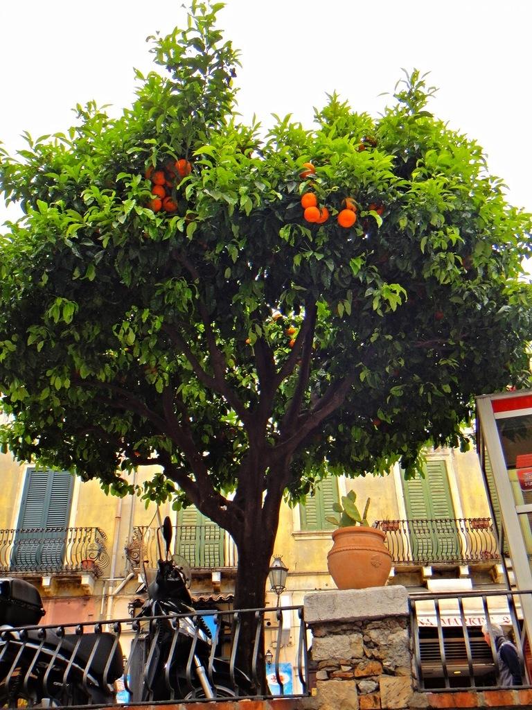 Апельсиновое дерево, Таормина, Сицилия