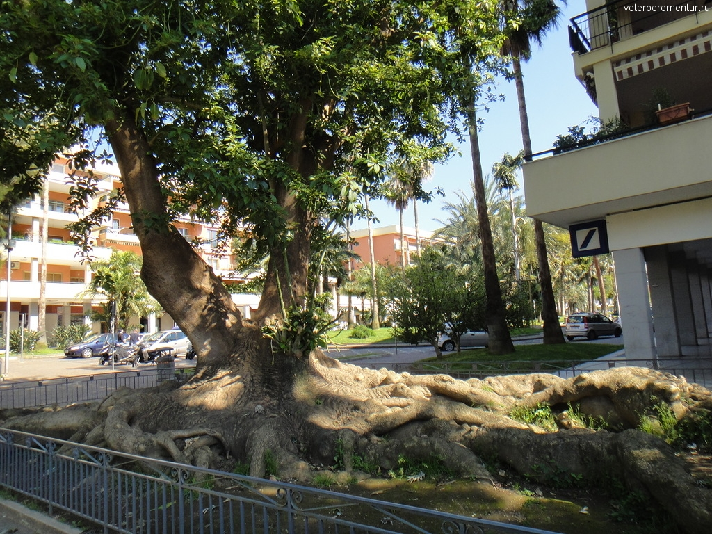 Дерево в Сорренто