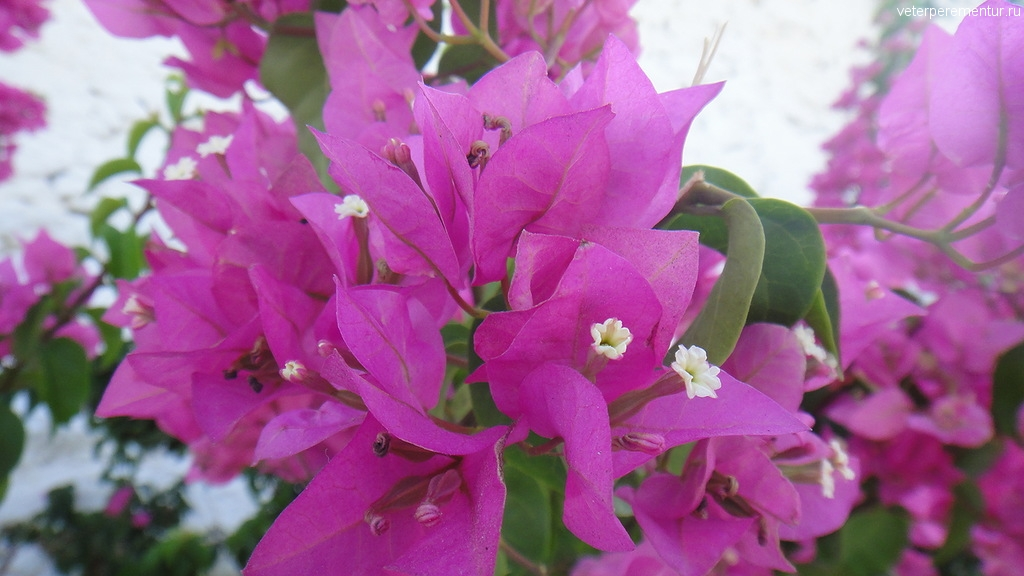 Цветы, Миконос