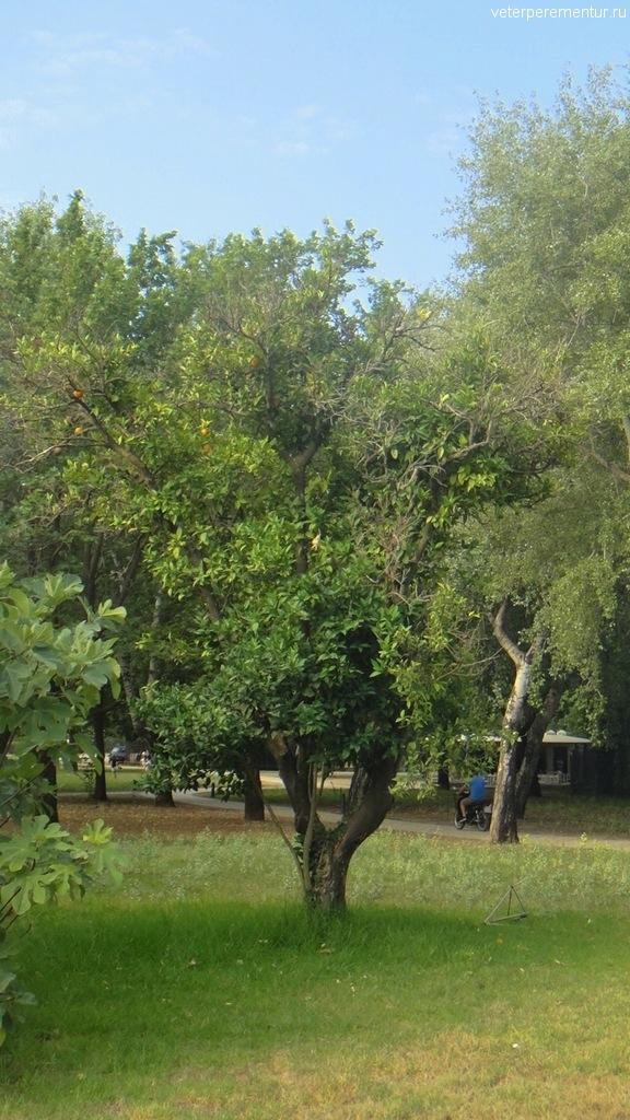 Апельсиновые деревья в Олимпии