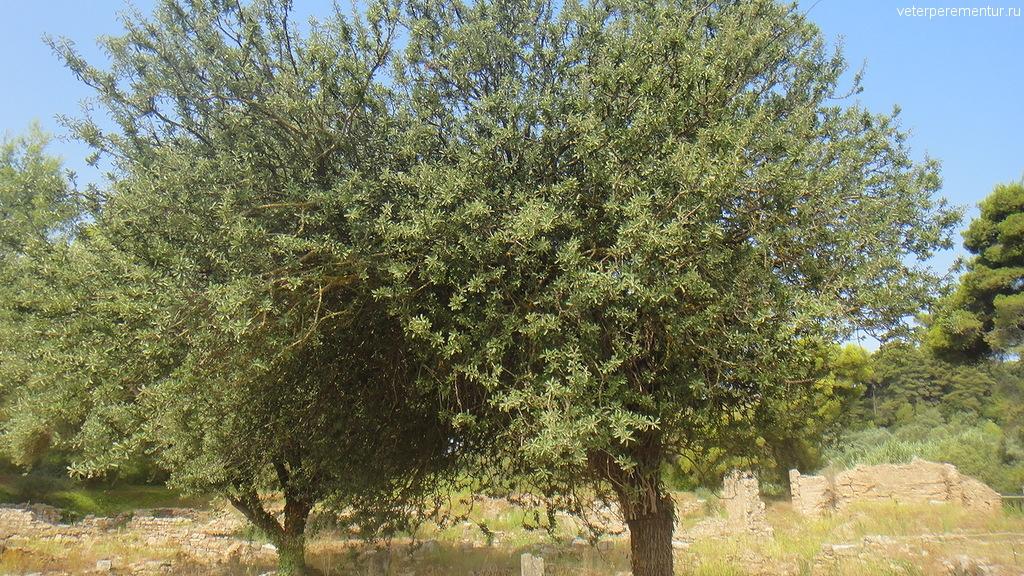 Деревья в Олимпии, Греция
