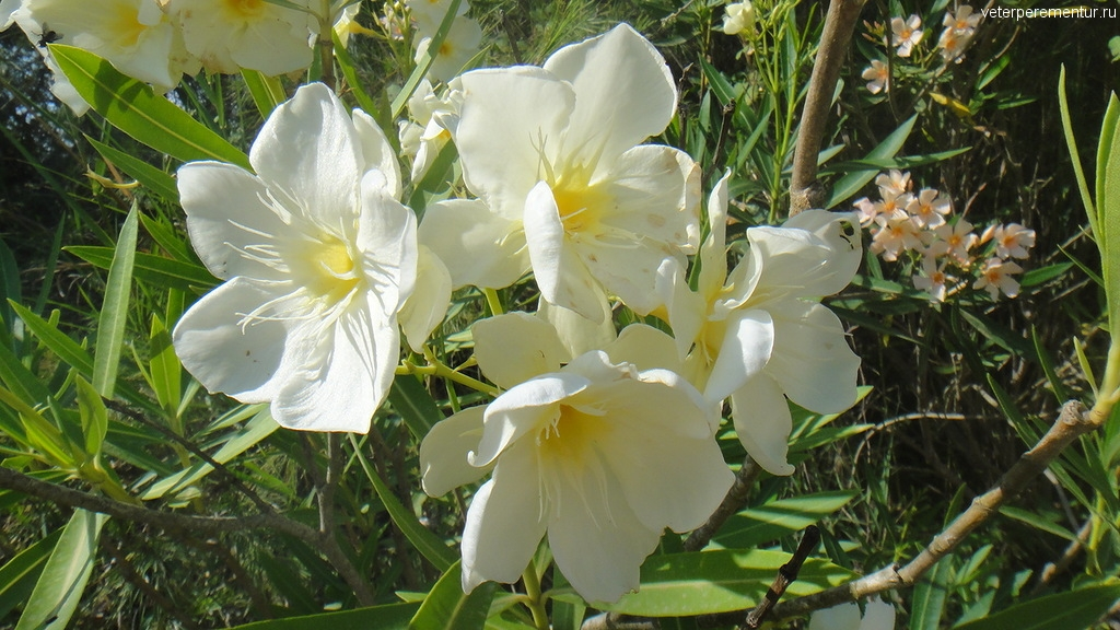 Цветы в Олимпии, Греция