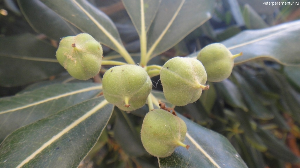 Растения на Корфу