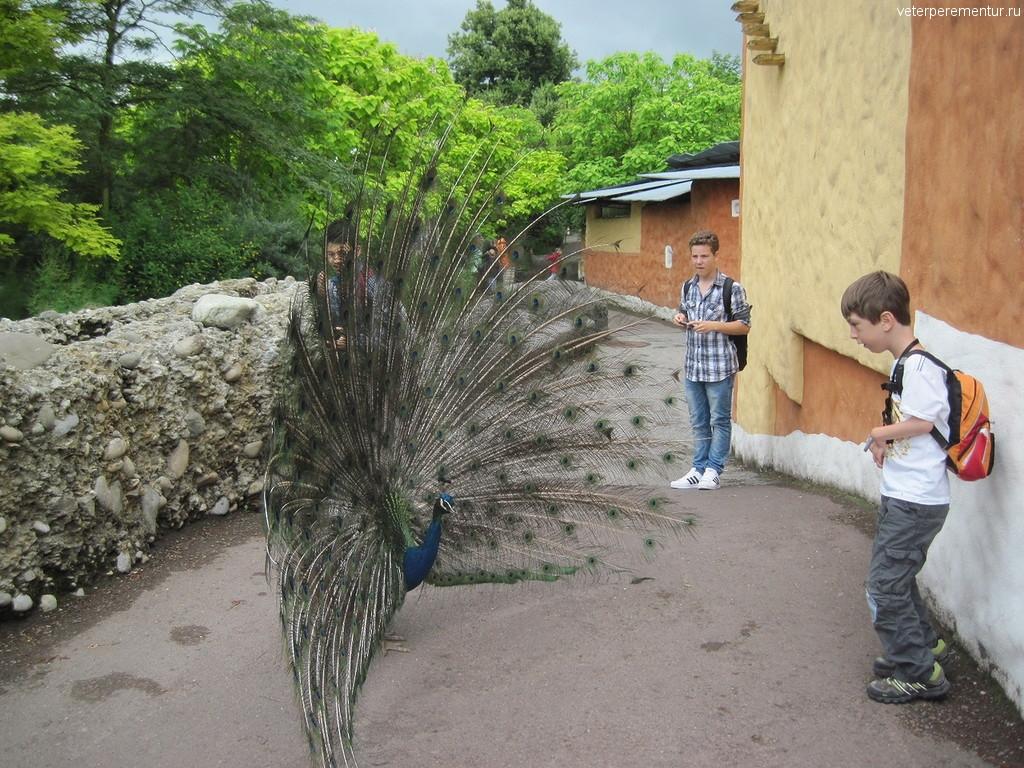 Павлин в зоопарке Цюриха