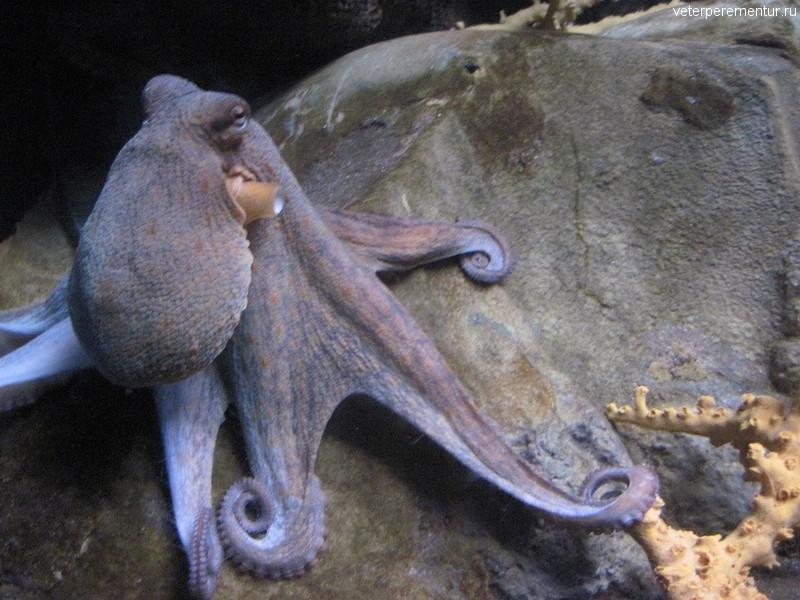 Осьминог в океанариуме Барселоны