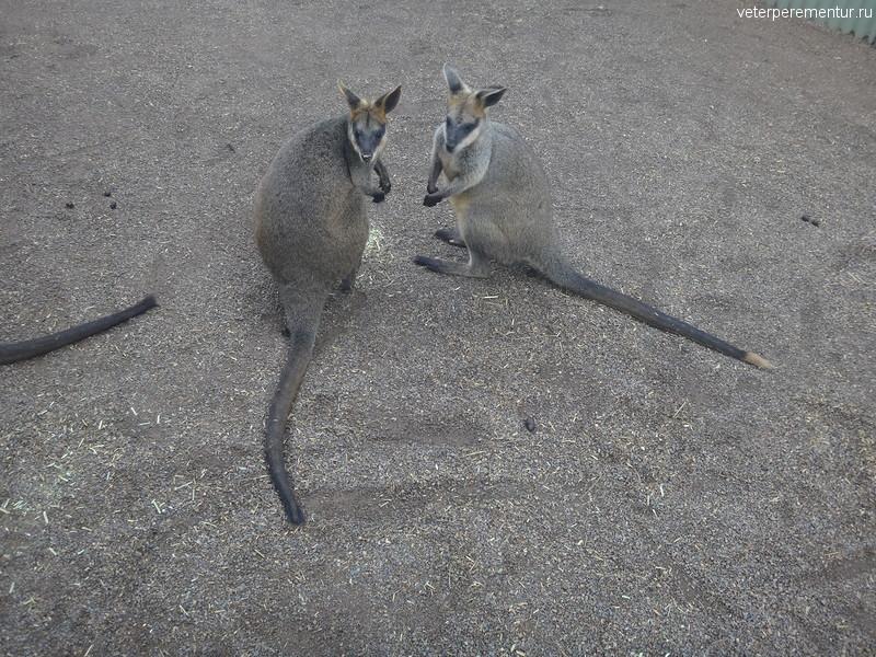 Кенгуру, Австралия