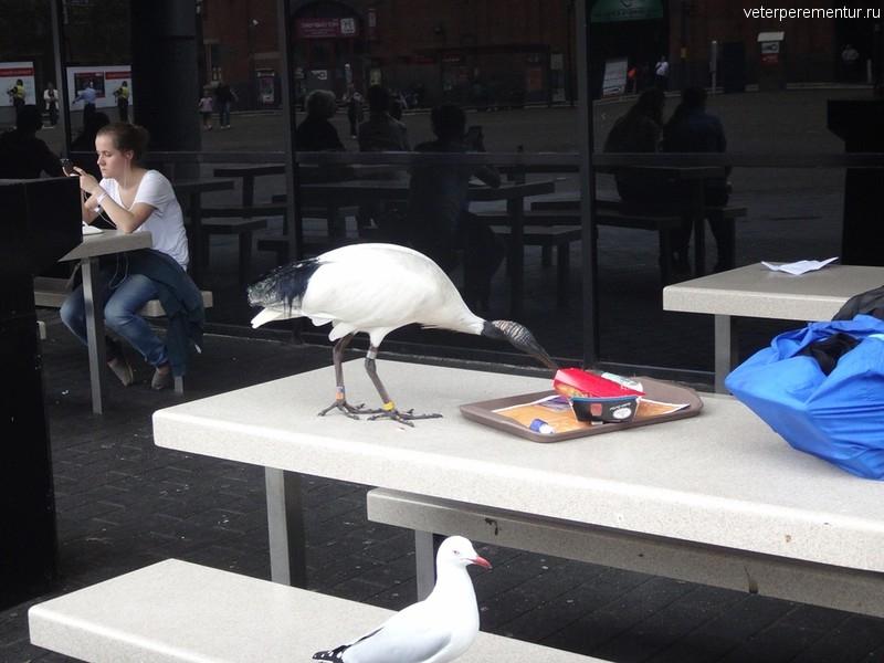 Ибис и чайка в Сиднее