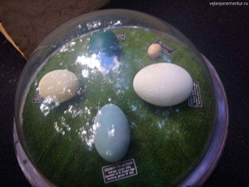 Яйца страусов в сравнении с куриным