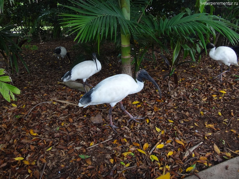 Брисбен (Brisbane), парк, ибисы