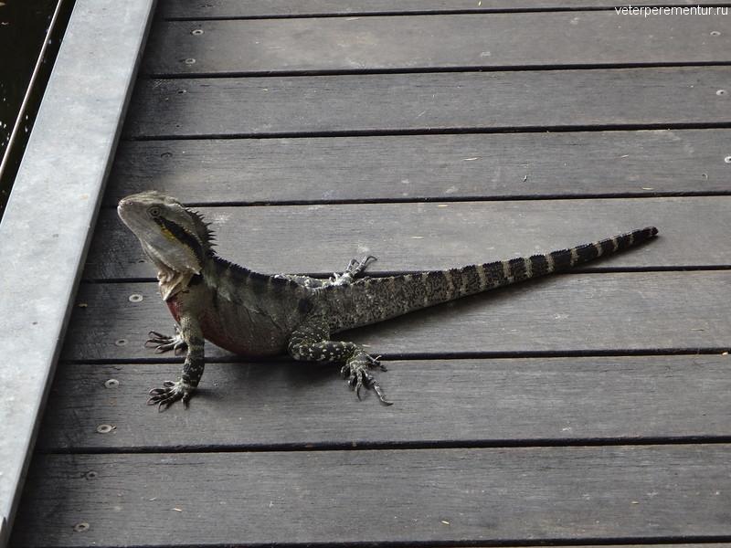 Брисбен (Brisbane), парк, ящерица