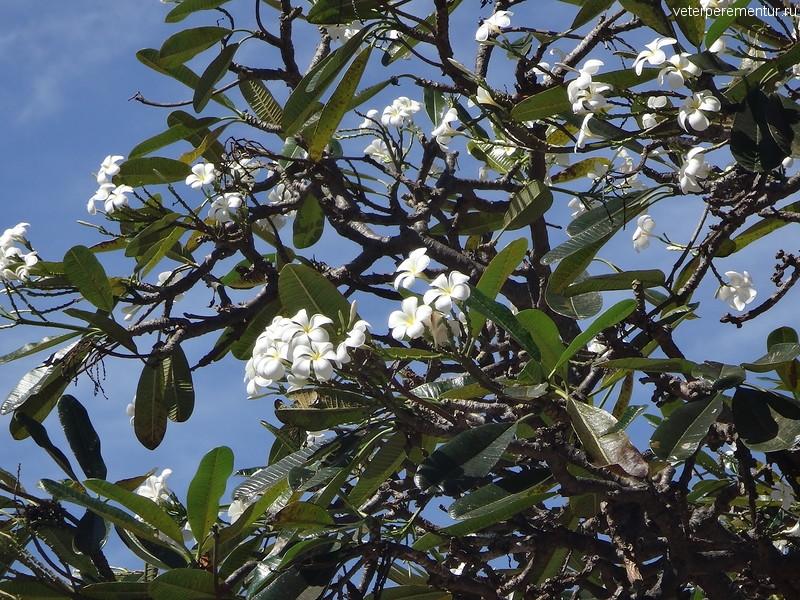 Брисбен (Brisbane), цветет плюмерия