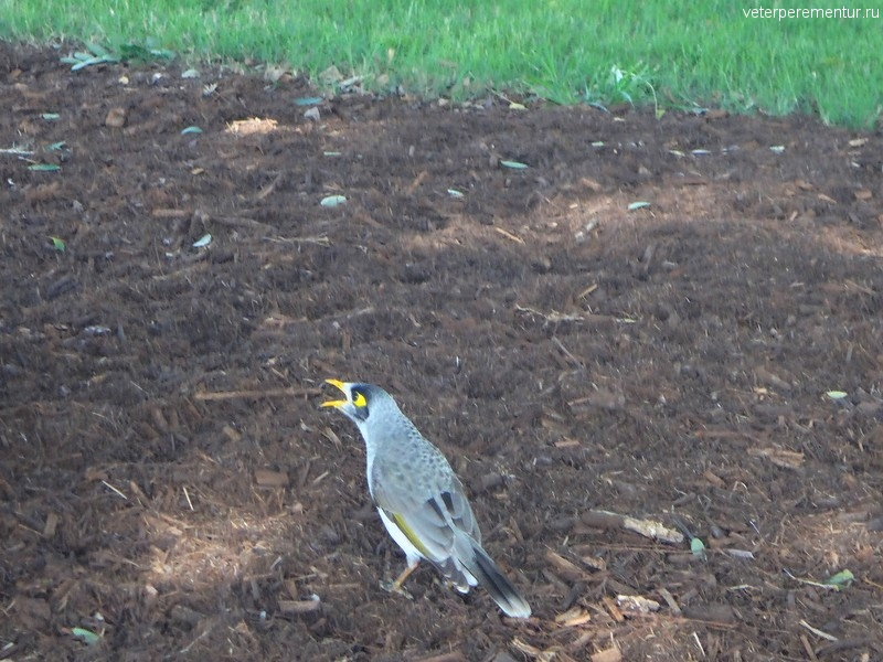Брисбен (Brisbane), птица в городе