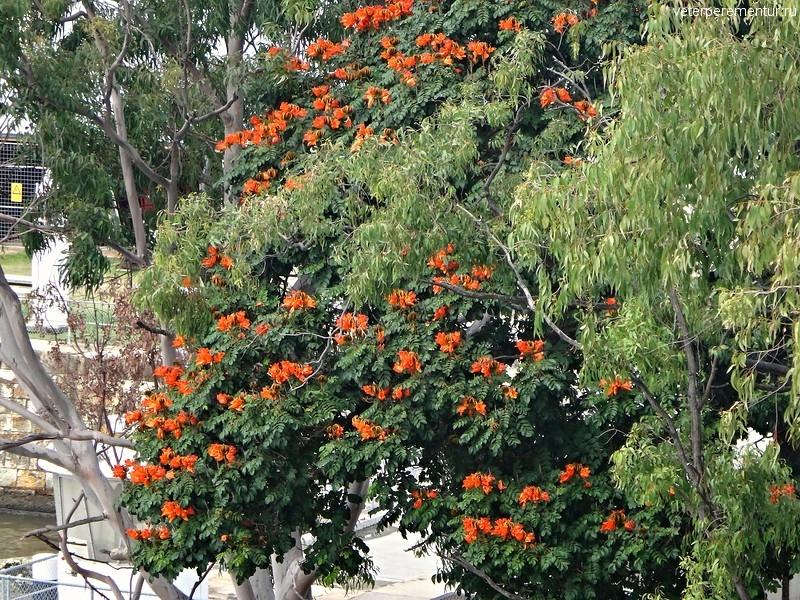 Цветущие деревья в Брисбене