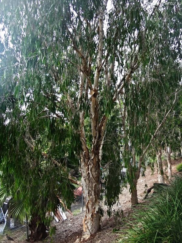 Деревья в Брисбене