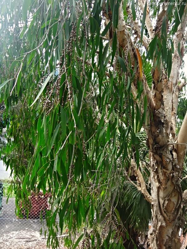 деревья с отслаивающейся корой, Брисбен