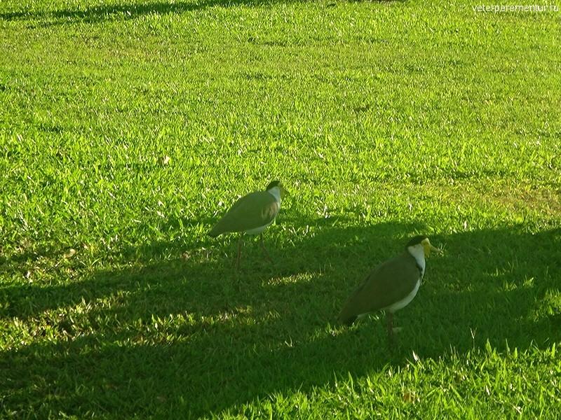 Птицы в Кэрнсе