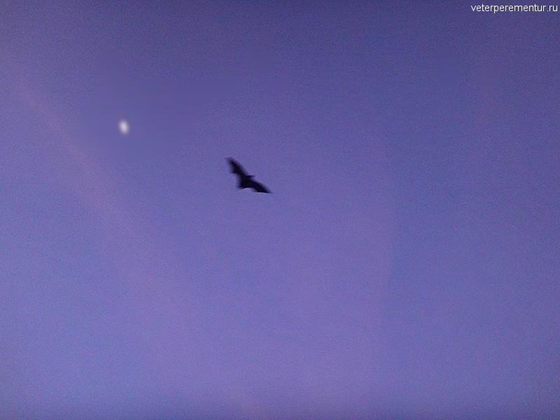Летучие лисицы, Австралия