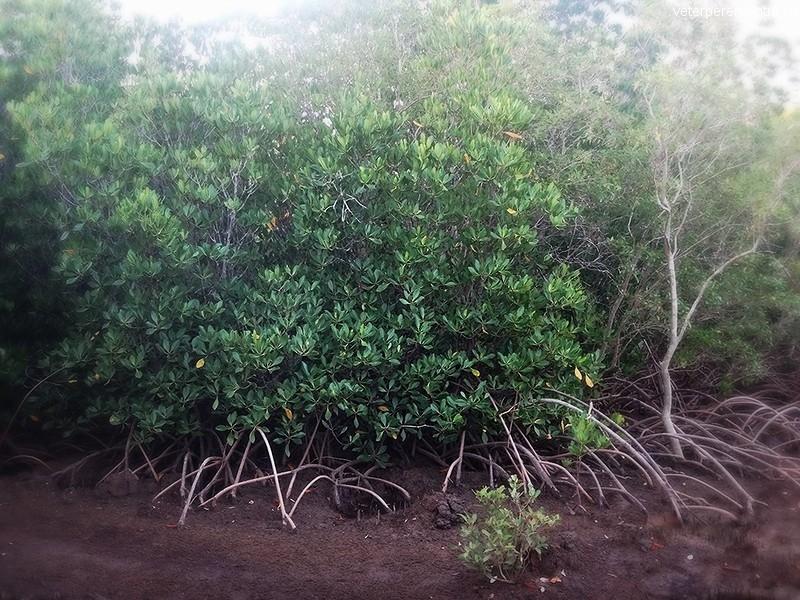 Австралия, мангры