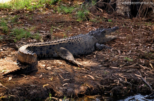 Крокодилы, Австралия
