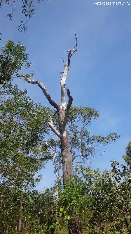 Эвкалипт, Личфилд, Австралия