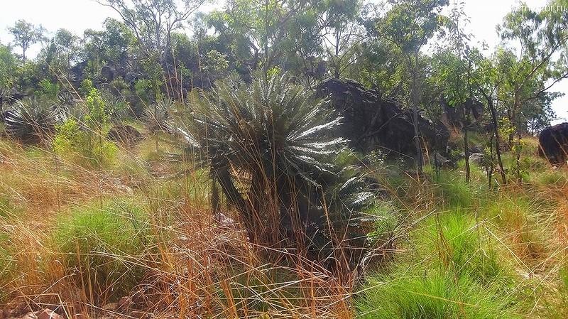 цикасы (Cycas calcicola) в парке Личфилд