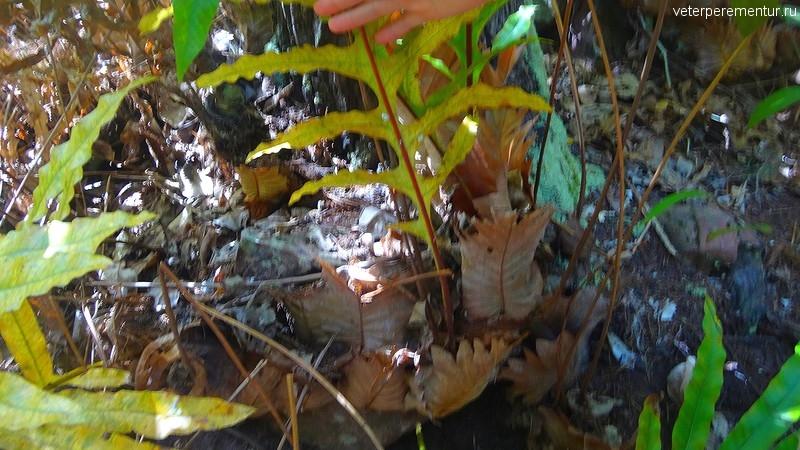 Дринария дуболистная (Drynaria quercifolia, Polypodiaceae)