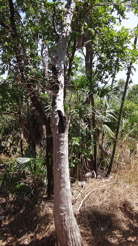 Полый ствол эвкалипта, Личфилд, Австралия