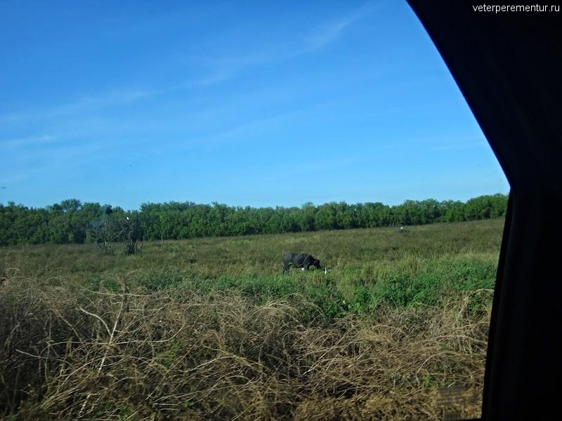 Пасущиеся буйволы и цапли, Дарвин, Австралия