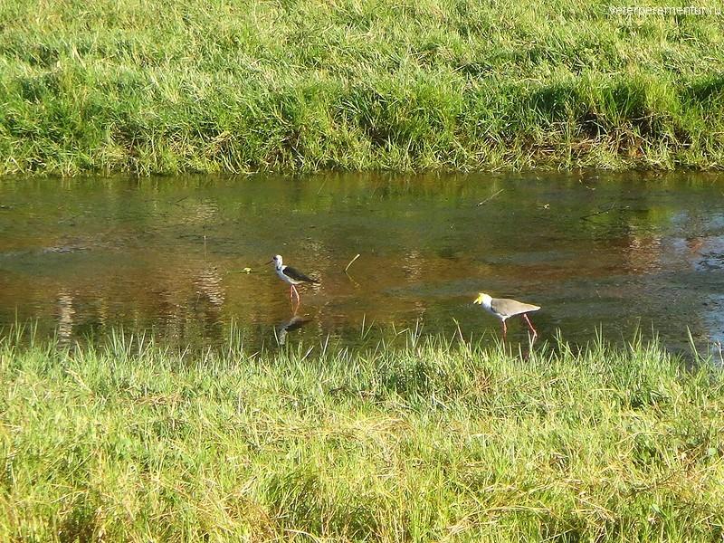 Птицы на биллабонге, Дарвин, Австралия