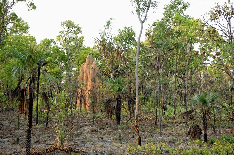 Cathedral Termite Mounds, Nasutitermes triodiae. Litchfield National Park, NT, Australia