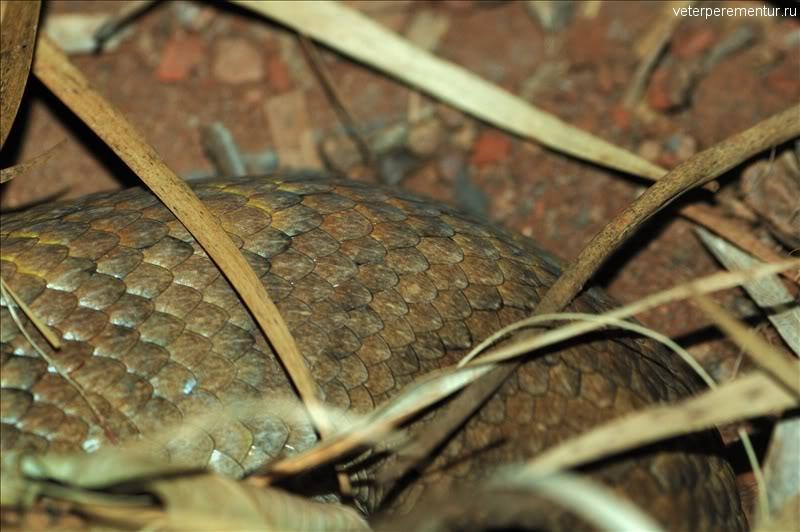 Новогвинейская смертельная змея (Acanthophis praelongus, Elapidae)