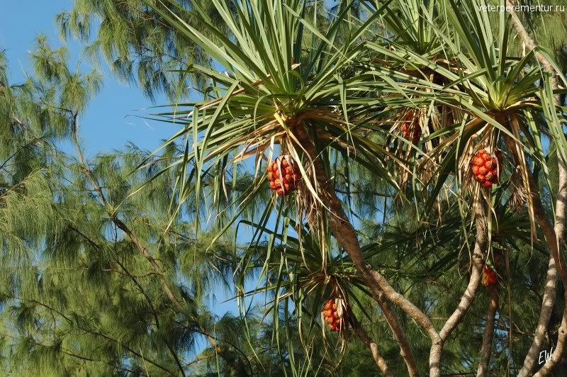 Плоды пандануса, Личфилд, Австралия