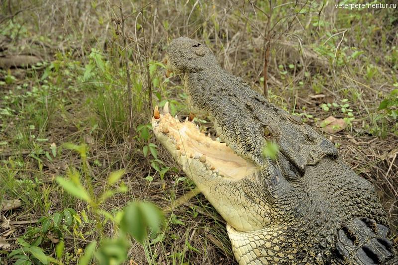Крокодил Ганибал, Spectacular Jumping Crocodile Cruise, Личфилд, Австралия